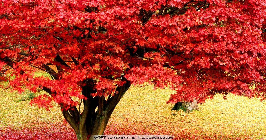 红叶树图片