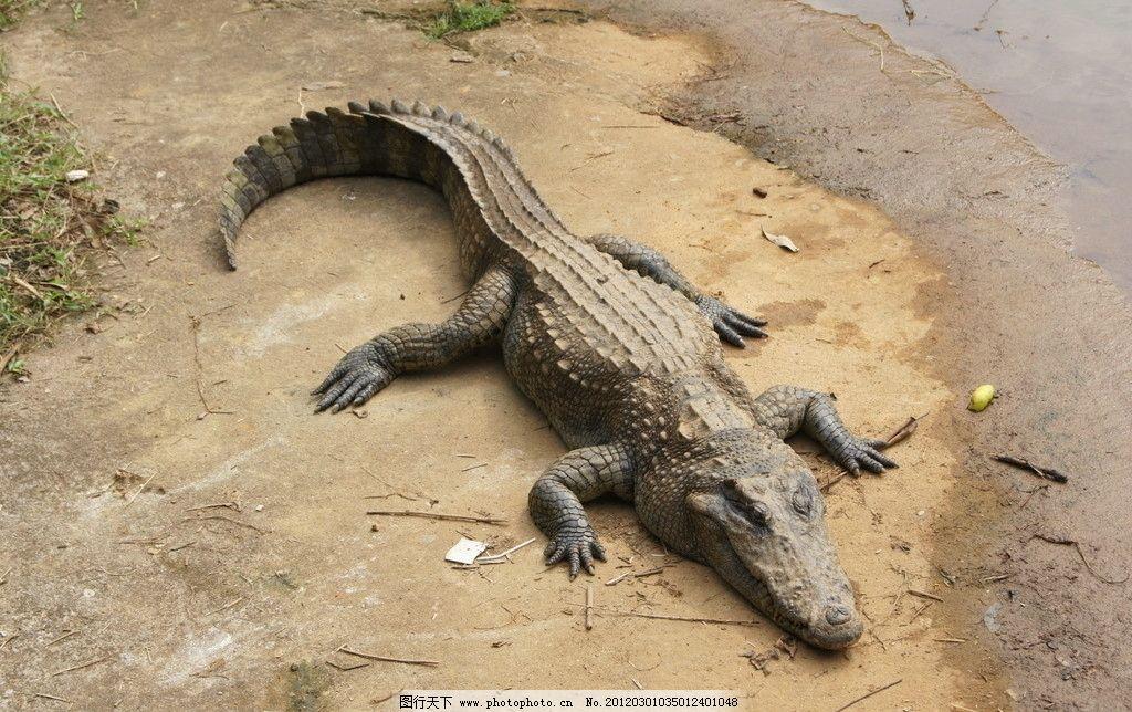 鳄鱼 动物园 水池边 野生动物