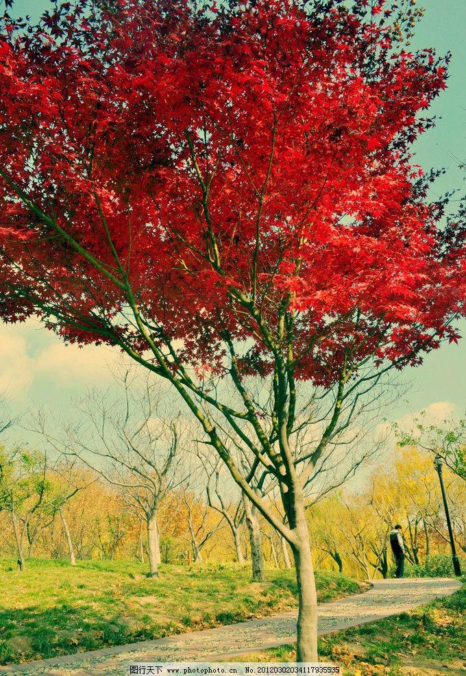 秋天风景 枫树 红叶 秋天 绿草 红树 色调 自然风景 旅游摄影 摄影