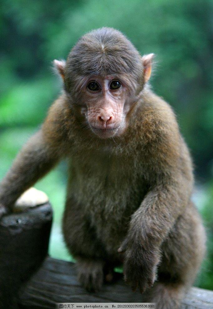 猴子 四川峨山 动物 野生动物 生物世界 摄影 72dpi jpg