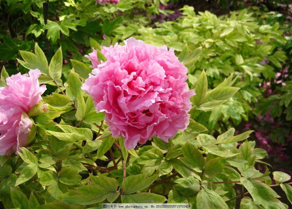 牡丹花 牡丹 公园 花园 生态公园 花展 自然 花草 生物世界 摄影 300