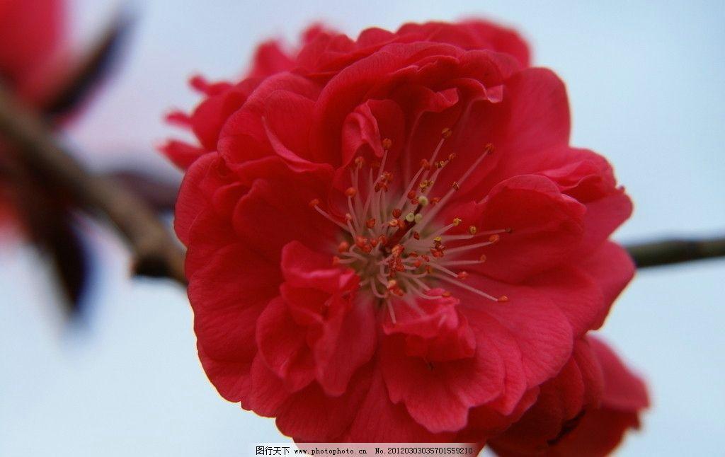 桃花 花卉 春天 红色 花草 生物世界 摄影 72dpi jpg