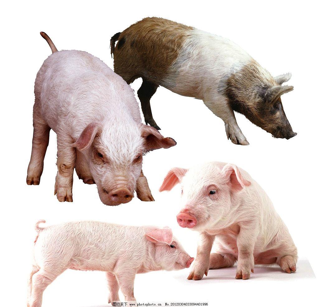 小猪素材 猪 小猪 动物 家畜 宠物猪 psd分层素材 源文件 72dpi psd