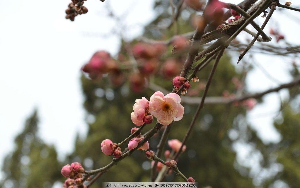 红梅 粉红色 梅花 花瓣 花蕾 树枝 天空 花蕊 花枝 盛开 鲜艳 树叶