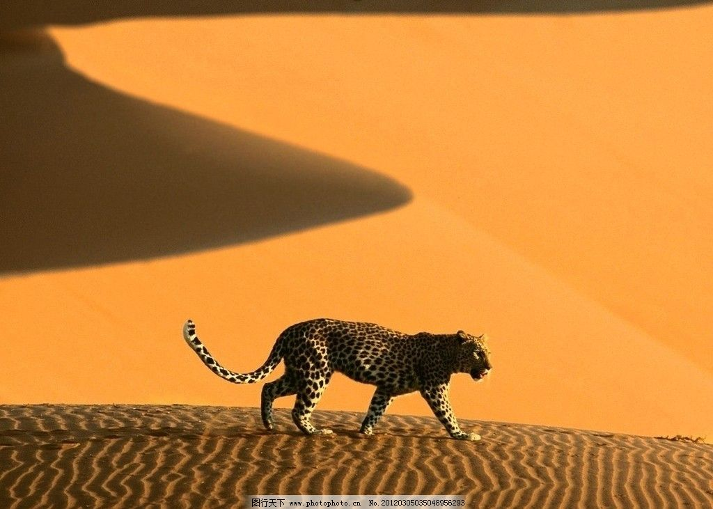 沙漠 豹子 阳光 野生动物 生物 黄色 摄影 72dpi jpg