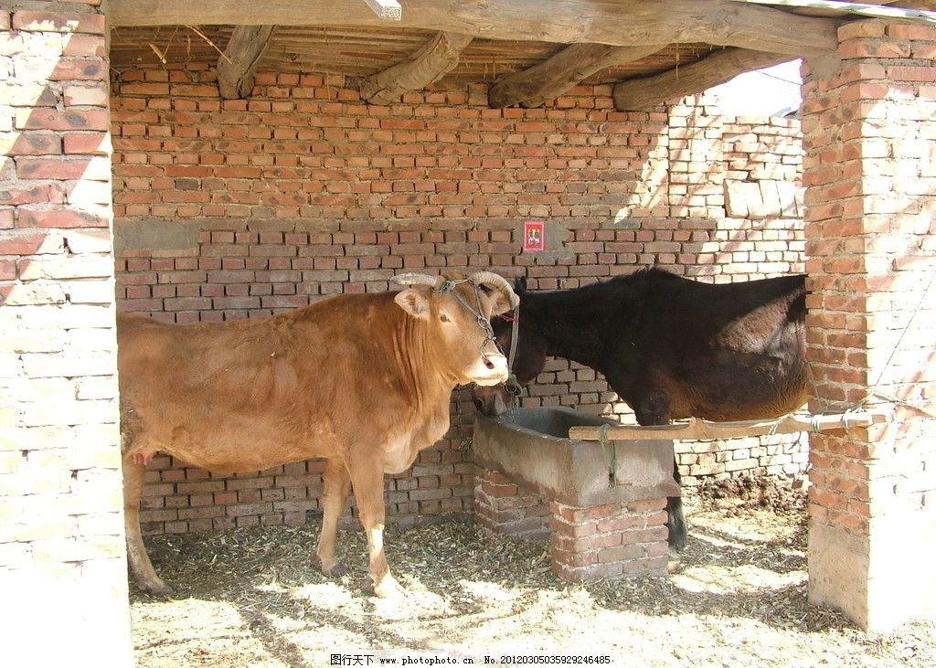 农村动物挡道的图片