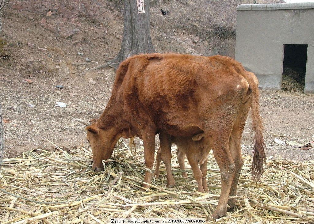 耕牛 农村 田野 牲畜 动物摄影