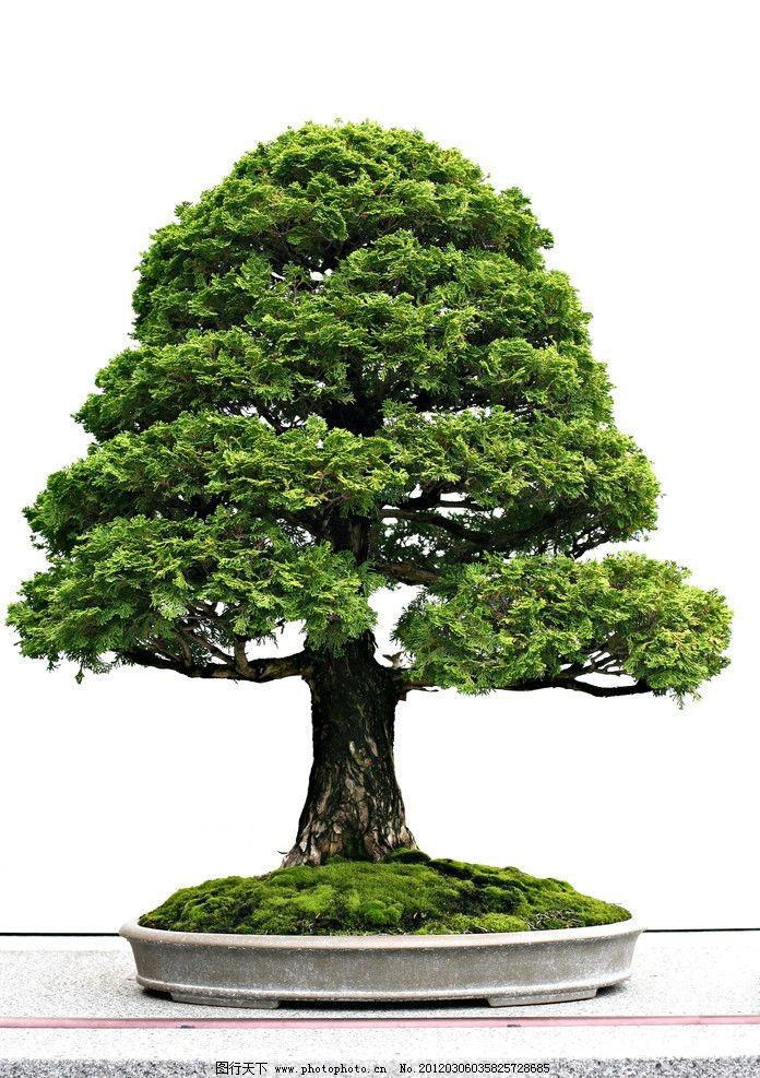 盆栽 树木 植物 物种 绿色 环保 花草 花盆 盆景 家居 花卉 景观 树木