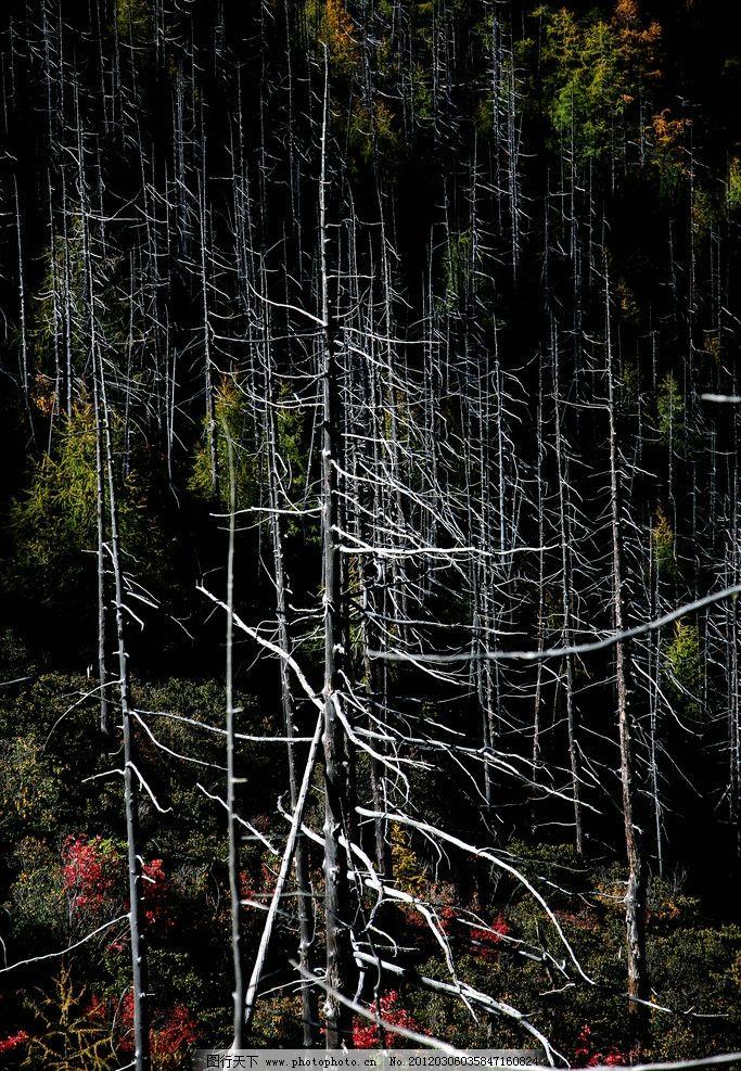 松树林 松树 红叶 枯树干 黑背景 树木树叶 生物世界 摄影 72dpi jpg