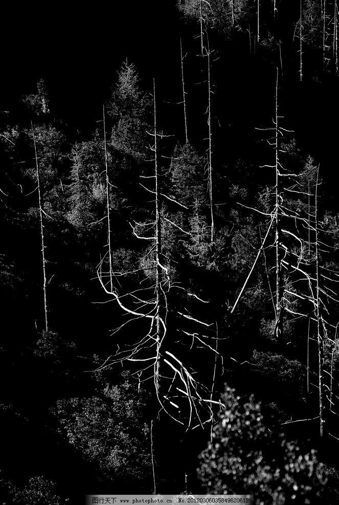 松树林 松树 枯树干 黑背景 树木树叶 生物世界 摄影 72dpi jpg