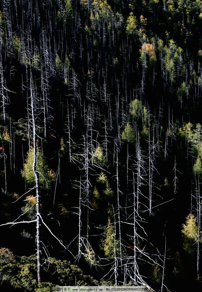 松树林 松树 枯树干 黑背景 黄叶 树木树叶 生物世界 摄影 72dpi jpg