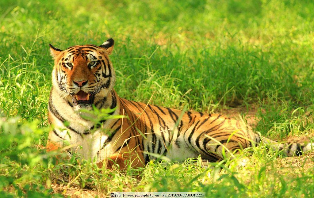 东北虎 老虎 精灵 野生动物 生物世界 摄影 72dpi jpg