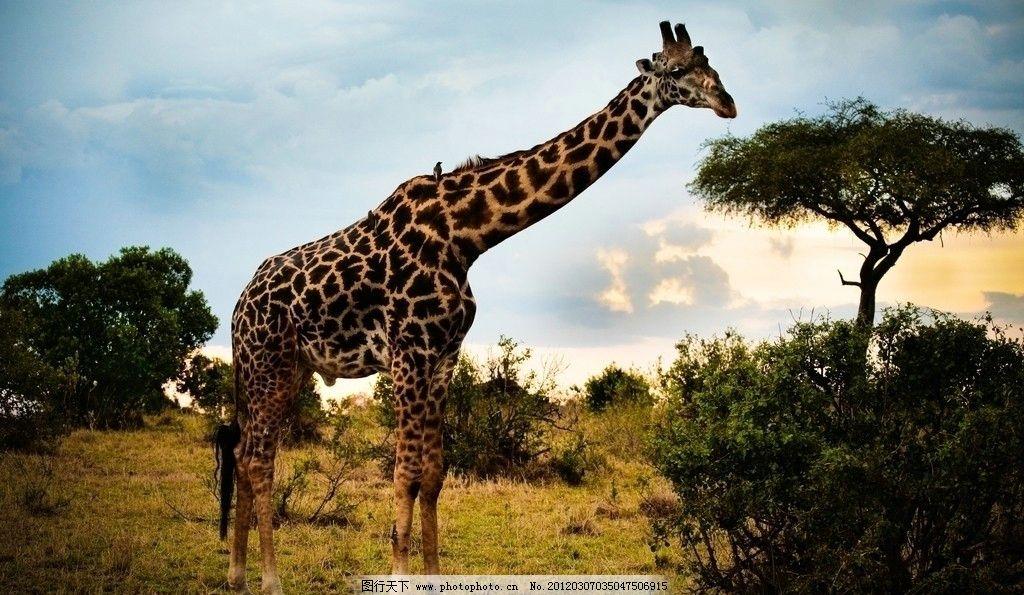 长颈鹿 摄影 高清 非洲 沙漠 树木 蓝天 白云 自然 动物 野生动物