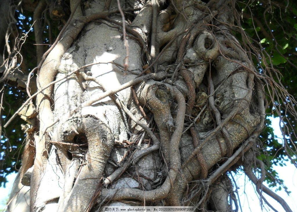榕树 深圳 观兰 版画村 蓝天 树木树叶 生物世界 摄影 96dpi jpg