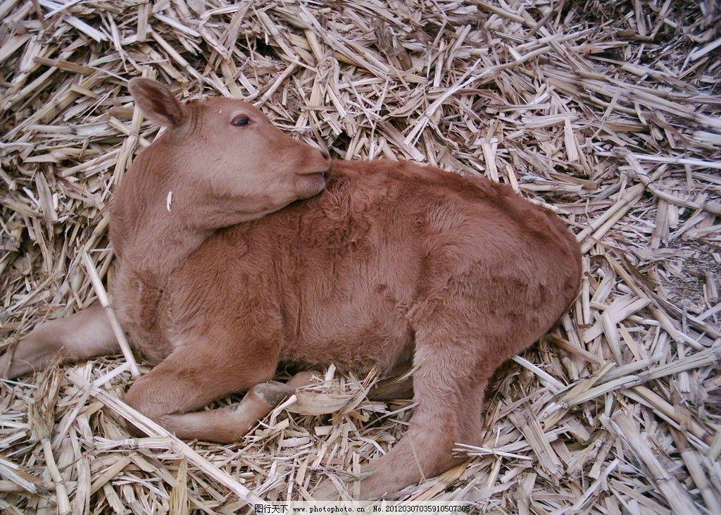 耕牛 黄牛 牲畜 动物 农村 动物摄影 家禽家畜 生物世界 摄影 72dpi
