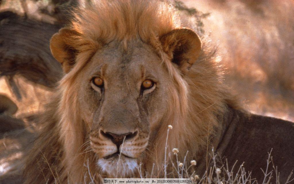 非洲狮 动物世界