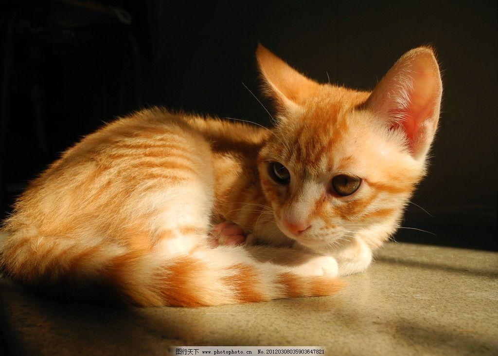 小猫 金黄色猫猫 太阳 可爱 动物 摄影