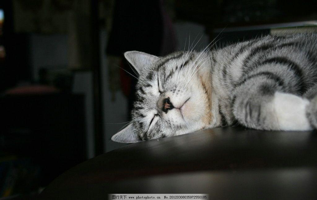 美短芝士睡觉 美国短毛猫 猫睡觉 银色鱼骨纹 虎斑 我家宠物 摄影