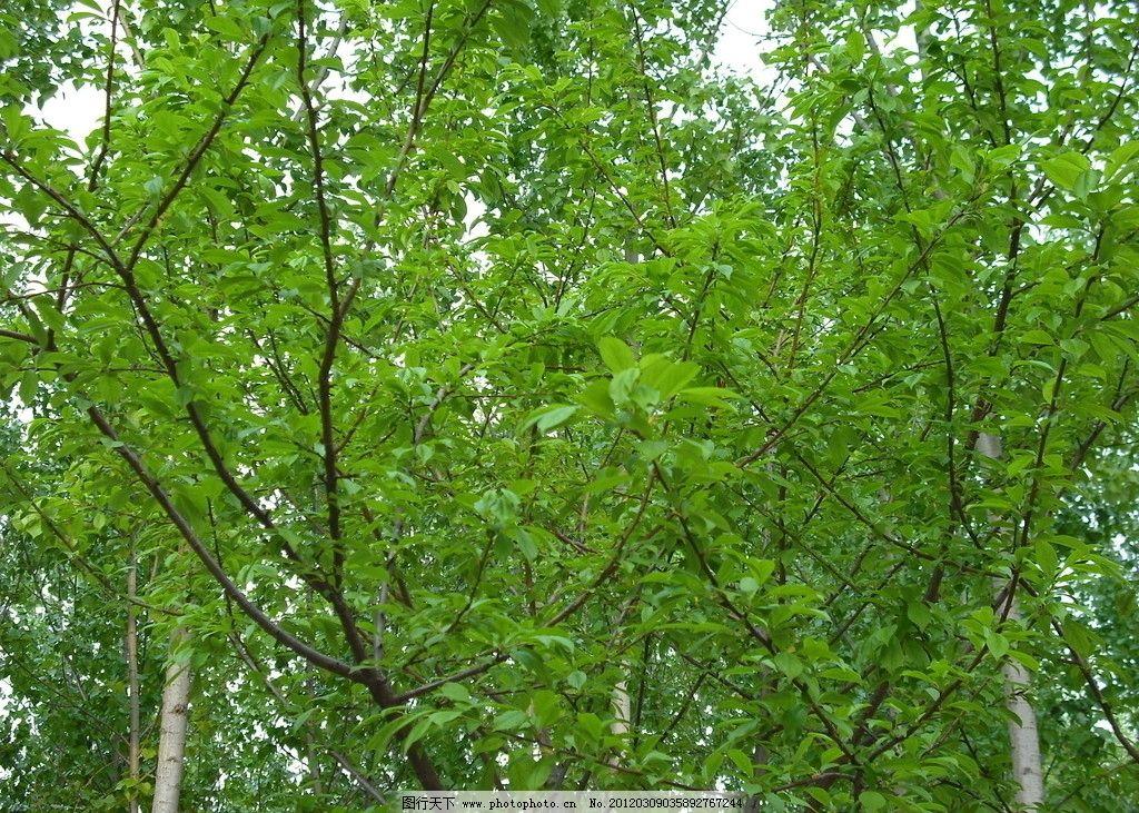 李子树 树叶 绿色 春天 树木树叶 生物世界 摄影 72dpi jpg