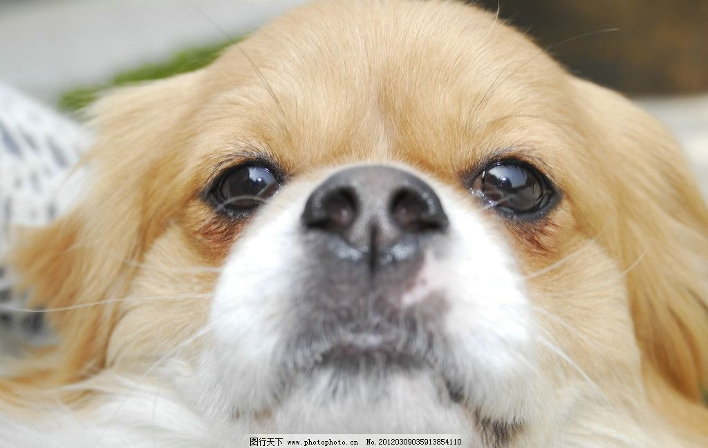 打瞌睡 狗狗 可爱 小狗 迷离眼神 摄影