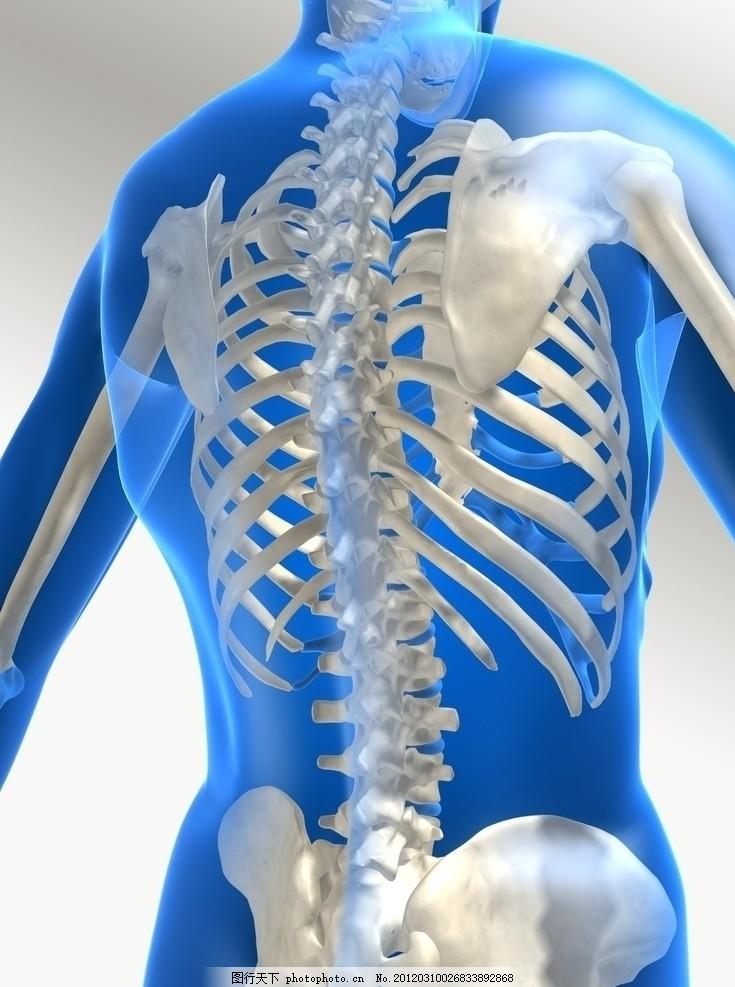 背部透视图 透明 人体 治疗 医学 骨骼 脊椎 胸椎 腰椎 肋骨