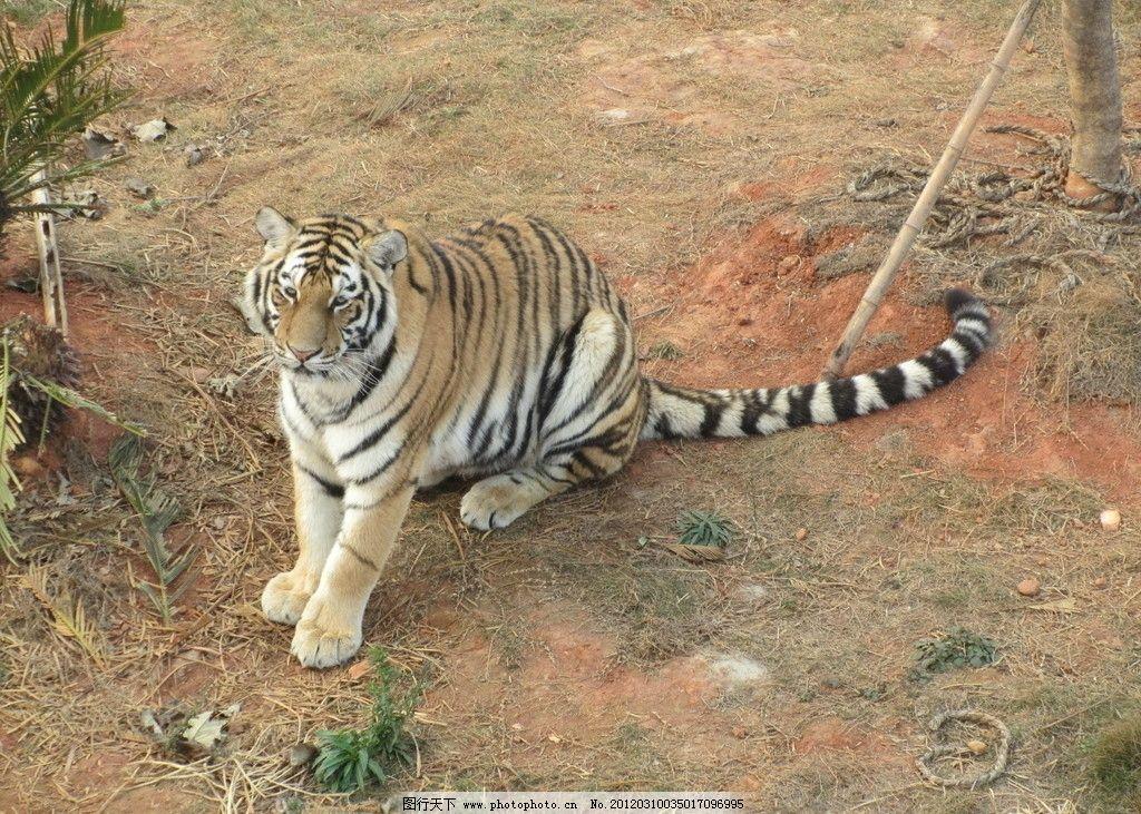 南昌动物园东北虎 老虎 猫科动物 林中兽王 野生动物 生物世界
