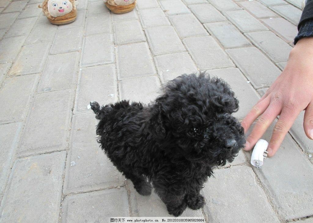 玩具贵宾犬 黑色玩具贵宾 可爱小狗 卷毛小狗 小贵宾 满月小狗