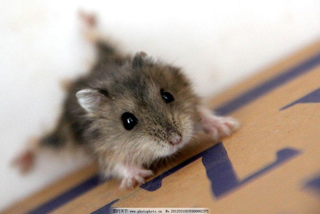 老鼠 小老鼠 宠物鼠 攀爬