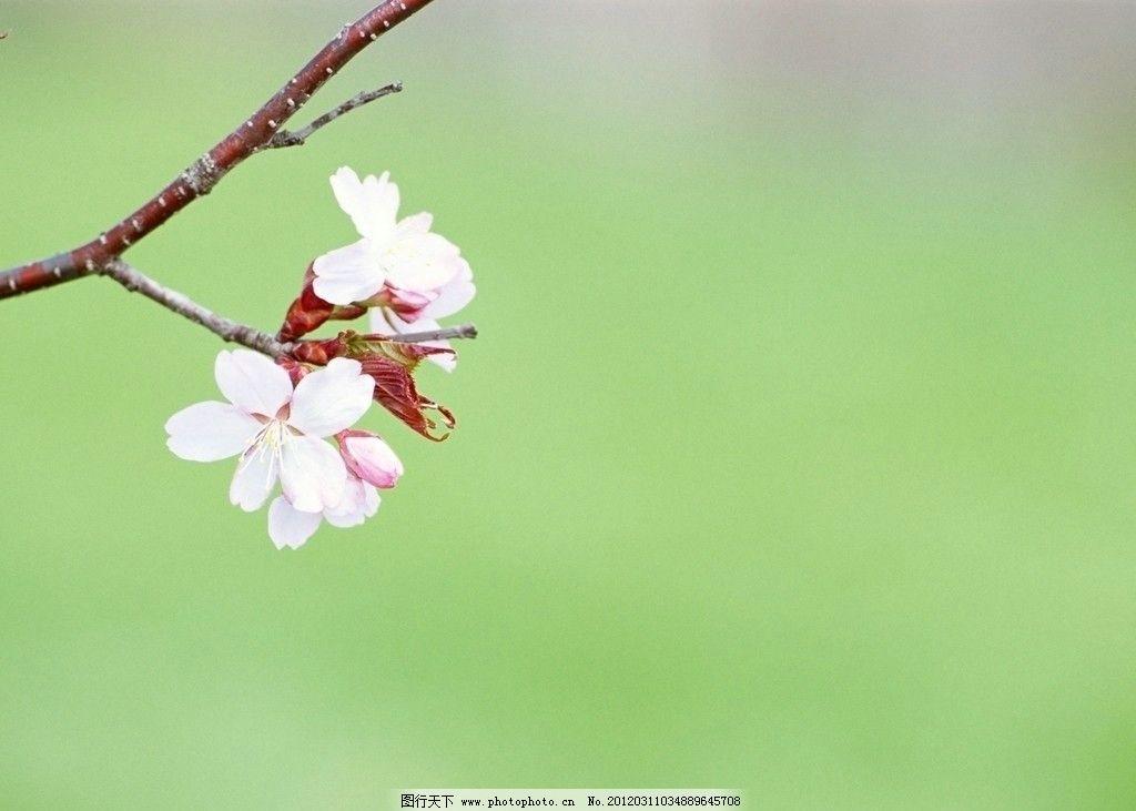 桃花 树枝 花朵 自然风景 自然景观 摄影