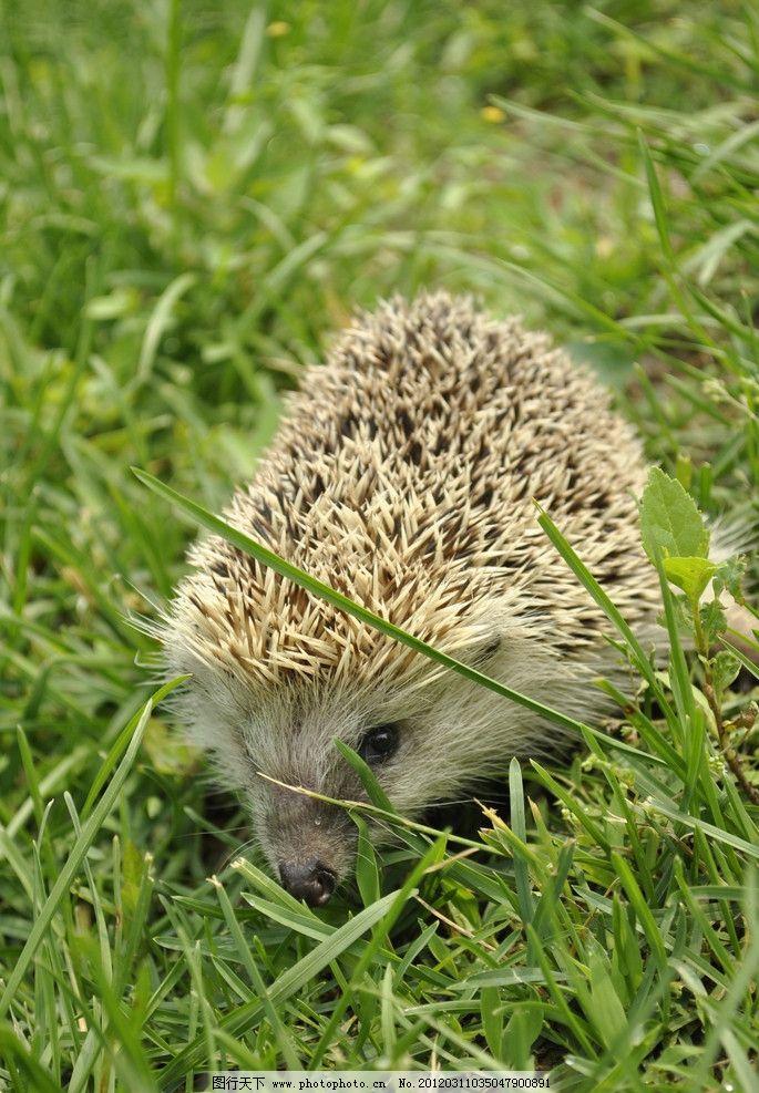 小刺猬 动物 可爱 刺团 猬鼠 偷瓜獾 毛刺 野生动物 生物世界
