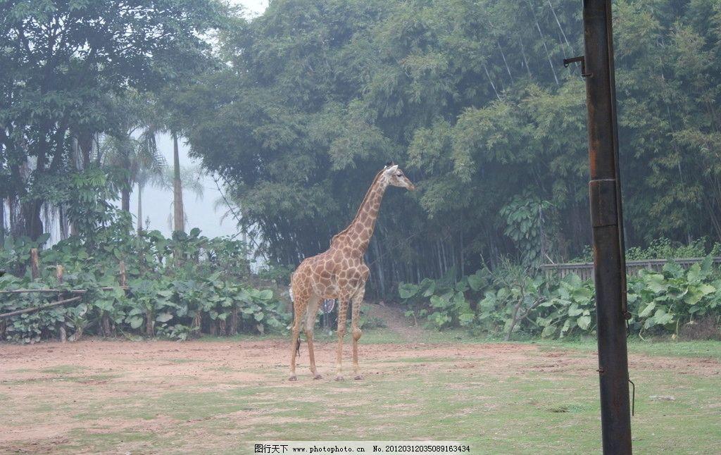 长颈鹿 动物世界 摄影