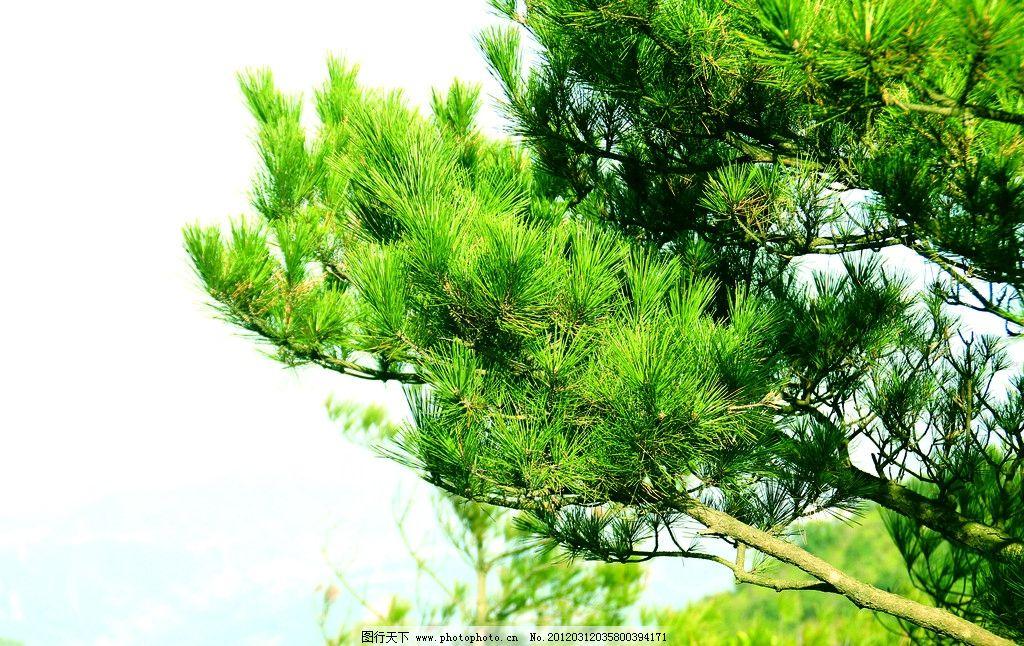 树枝 松树 青松 一棵树 树梢 树 天空 摄影 清晰 树干 针叶 树木树叶