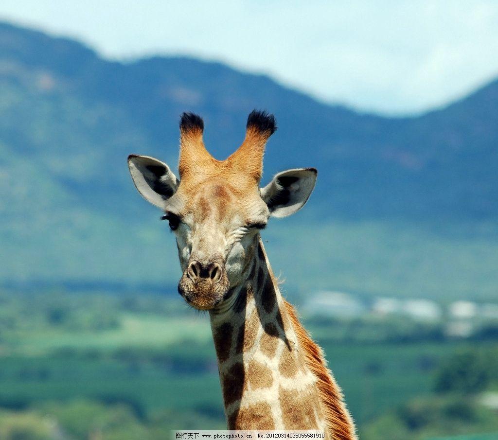 长颈鹿 野生 动物 特写 鹿头 野生动物 生物世界 摄影 300dpi jpg