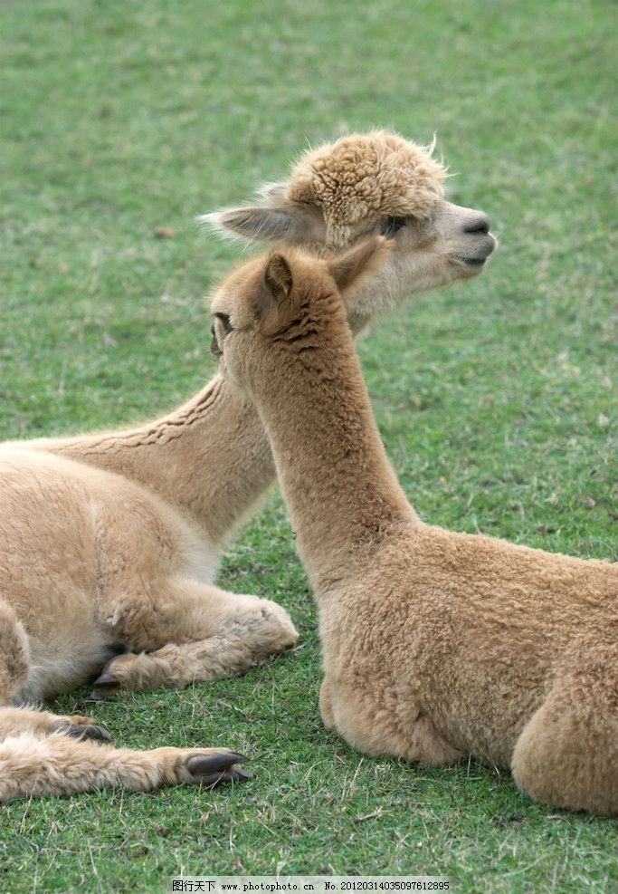 羊驼四不像 羊驼 草泥马 四不像 野生 动物 草地 草坪 野生动物 生物