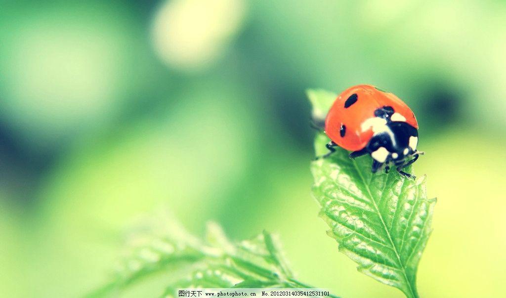 叶子七星瓢虫 花草 生物世界 摄影 风景 背景 唯美 精美 昆虫