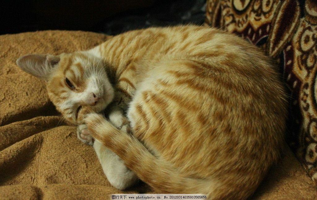 虎纹猫 猫 小猫 猫猫 虎纹 沉思 金黄色 睡觉 撞色 隐形猫 眯眼睛 可爱 无辜 黄白相间 猫科动物 小胡须 家禽家畜 生物世界 摄影 72DPI JPG