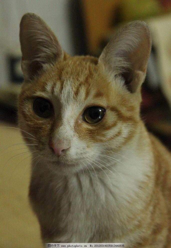 小猫 猫 虎纹 金黄色 大眼睛 亮晶晶的眼睛 可爱 无辜 黄白相间 猫科