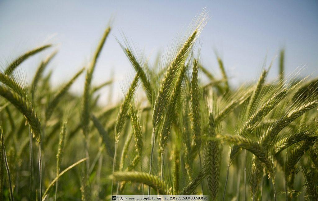 水稻农田 水稻 大米 粮食 农作物 农田 水田 美丽 风光 风景 景色