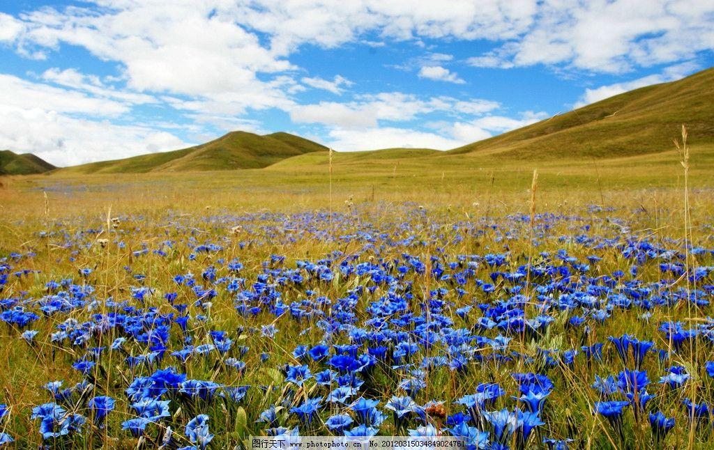 花海 草原 大草原 高原 高山 群山 草场 蓝天白云 自然美景 自然风景