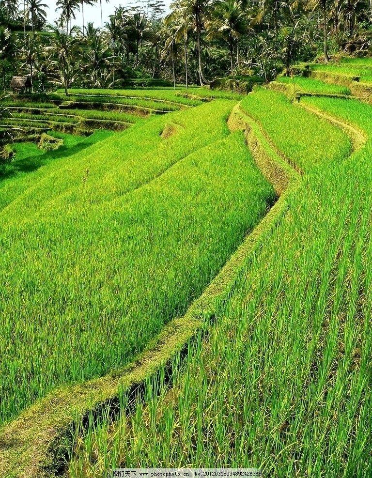 稻田田园图片图片