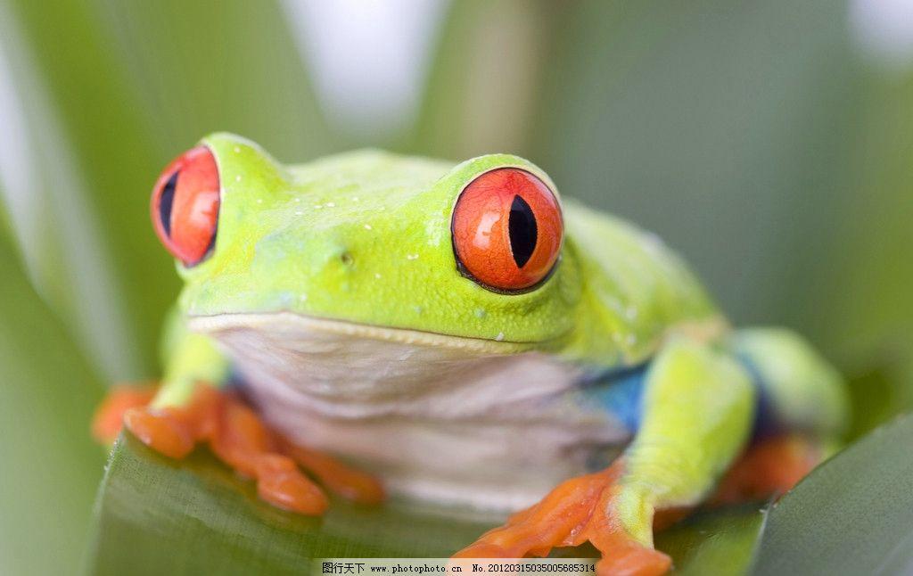 青蛙 蛤蟆 热带动物 两栖动物 珍贵 野生 保护 野生动物 生物世界