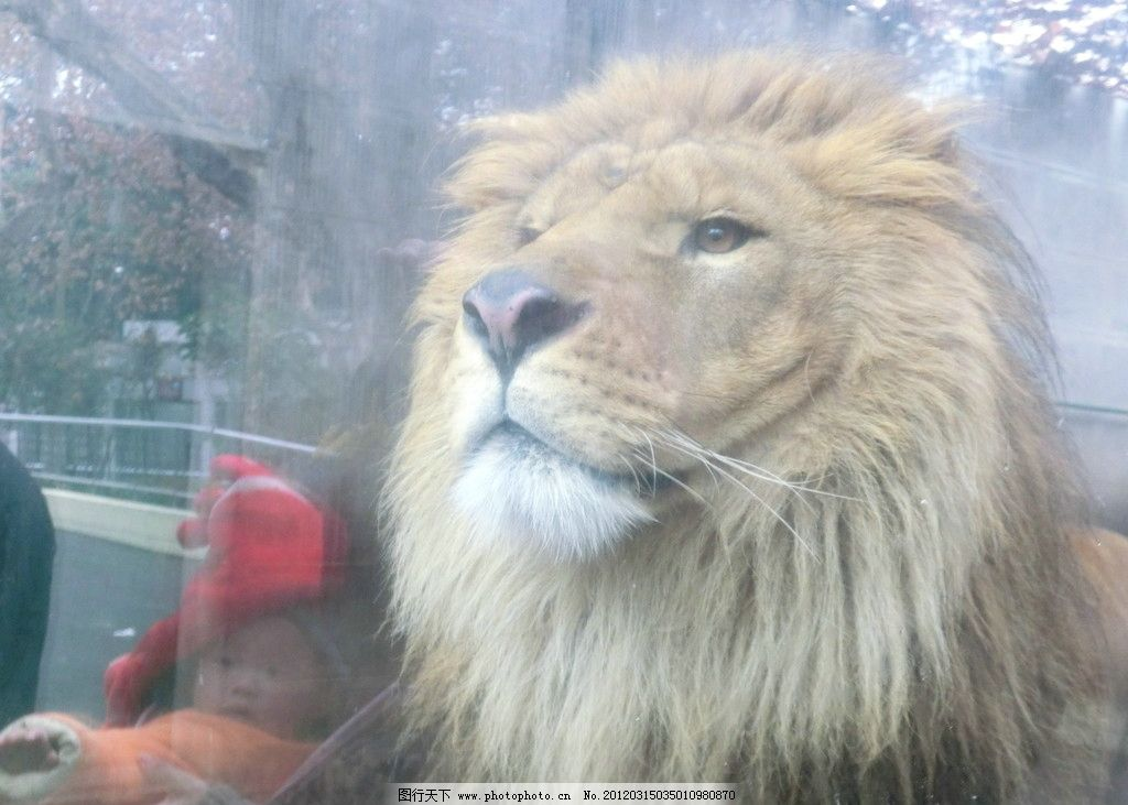 森林之王(非高清) 狮子 郁闷 想家 森林之王 动物园拍摄有趣的动物