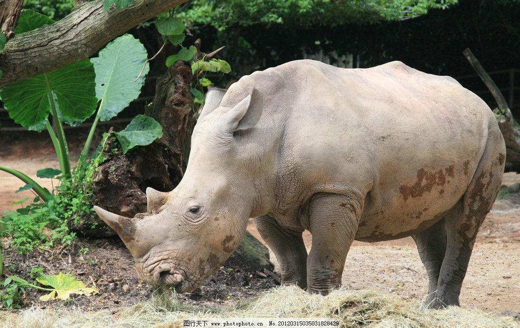 犀牛特写 犀牛 珍贵 珍惜 野生 保护 动物 犀牛角 野生动物 生物世界