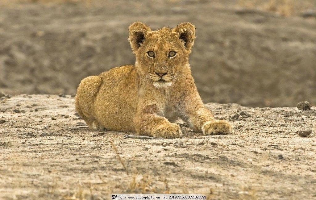 野生狮子 野生 狮子 珍贵 珍惜 保护 动物 母狮 小狮子 野生动物 生物
