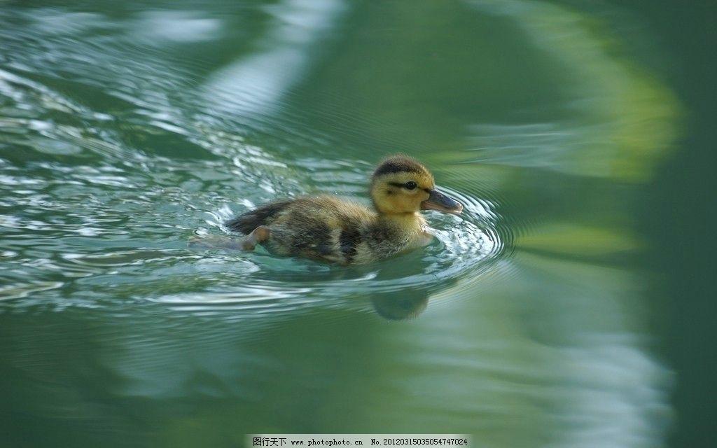 小鸭子 划水 游泳 可爱 野生动物 生物世界 摄影 72dpi jpg