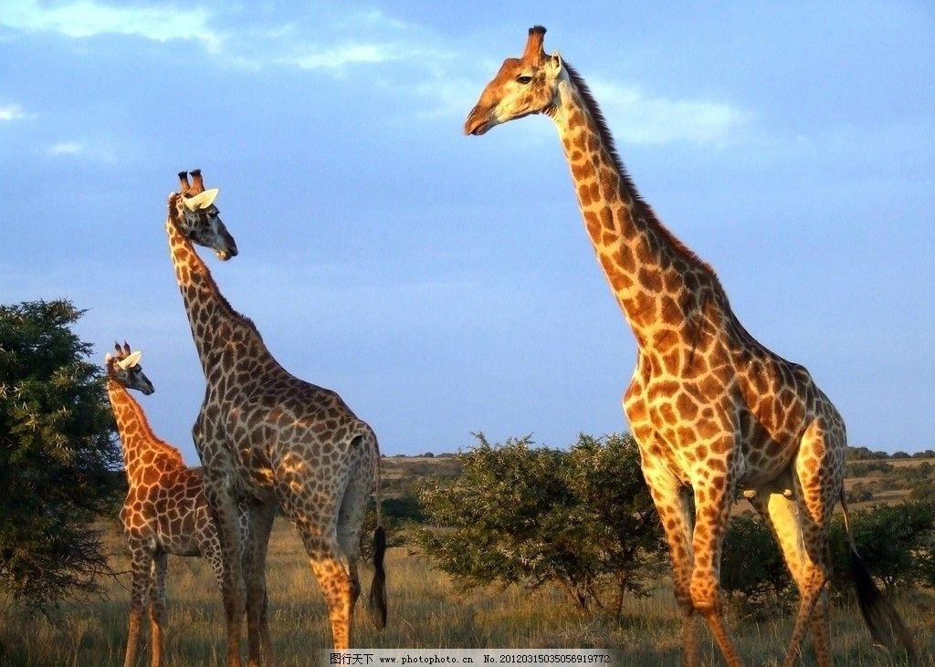 长颈鹿图片,野生 动物 特写 鹿头 野生动物 生物世界