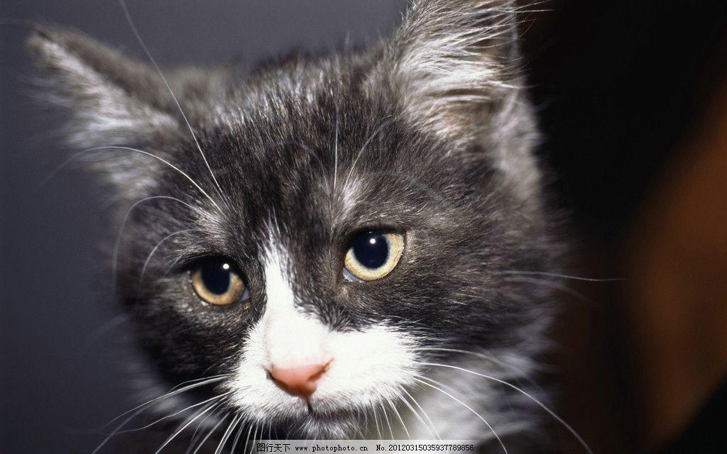 猫咪 小猫 动物世界 家禽家畜 生物世界 摄影 300dpi jpg