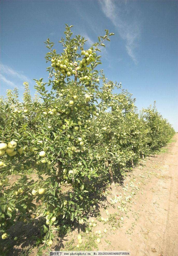 果园 苹果园 农场 农庄 苹果树 果树 田野 风光方面素材 自然风景