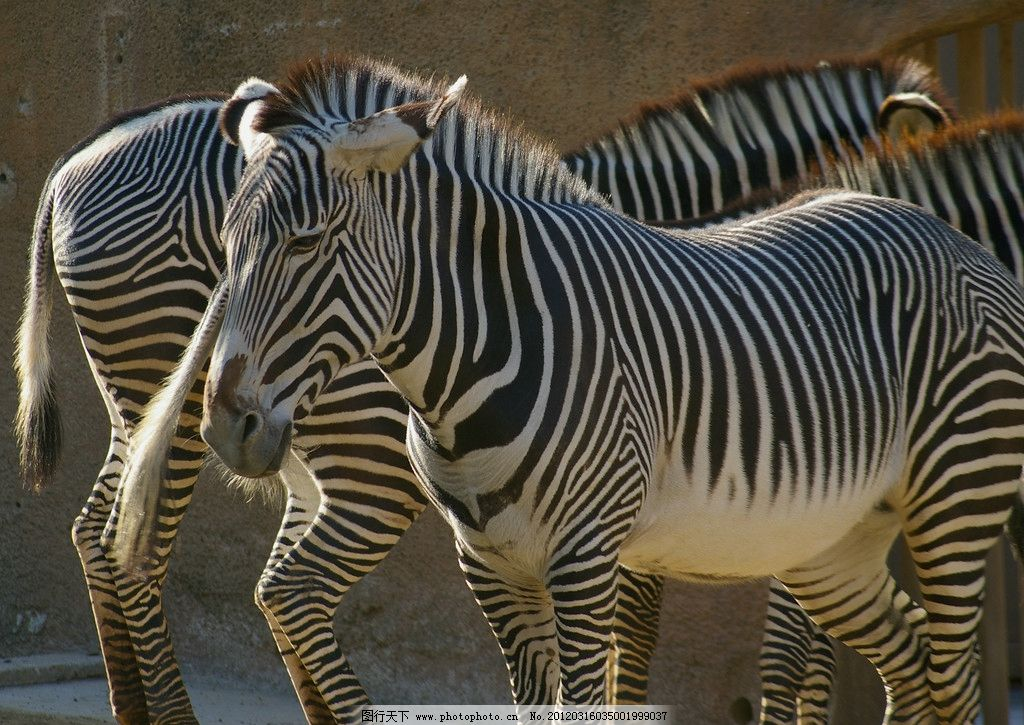 斑马动物图片