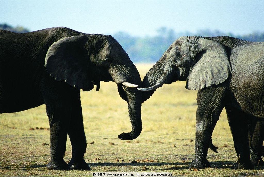 大象 非洲大象 动物世界 摄影